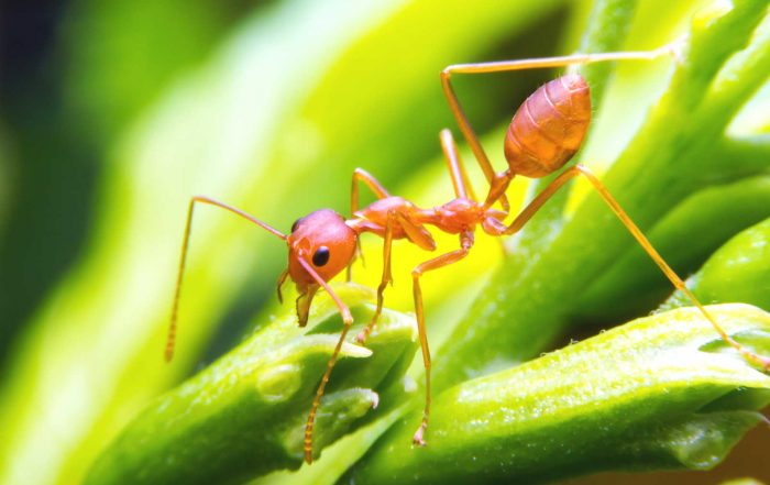 Fire Ant on Leaf - Evergreen Pest Control helps you protect against fire ants