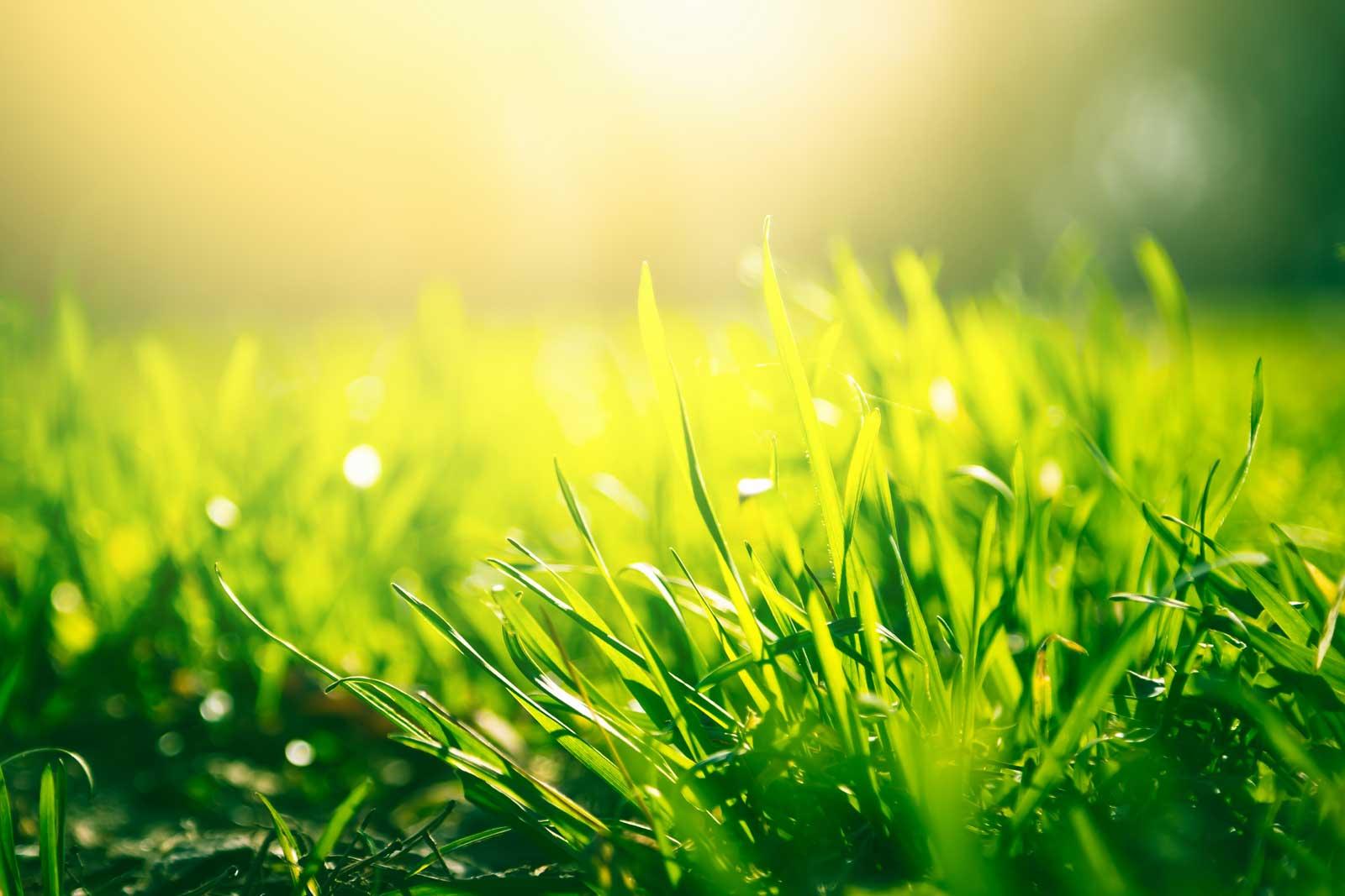 Grass shining in the sunshine